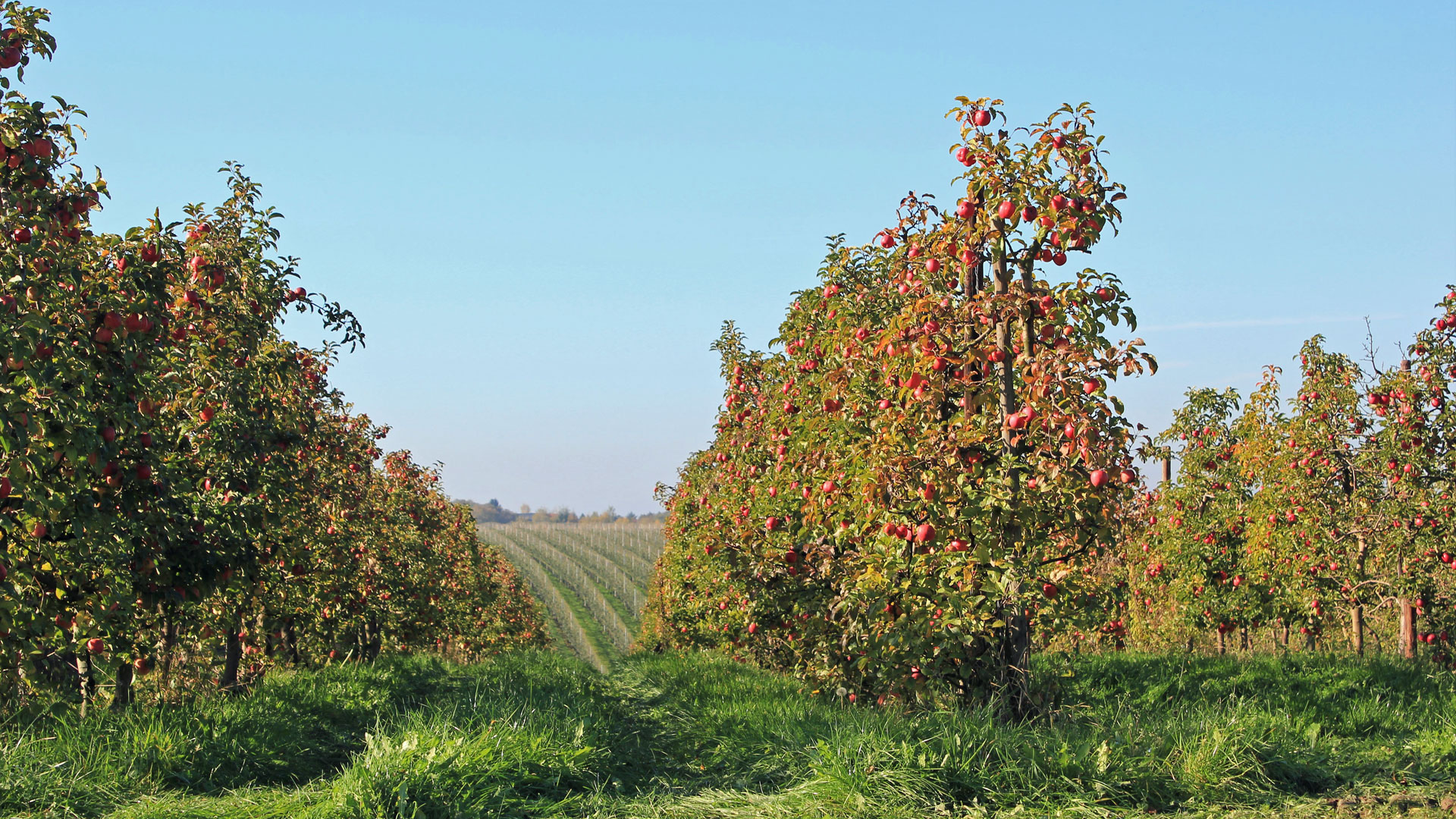 Apfelplantage im Obstland bei Leisnig