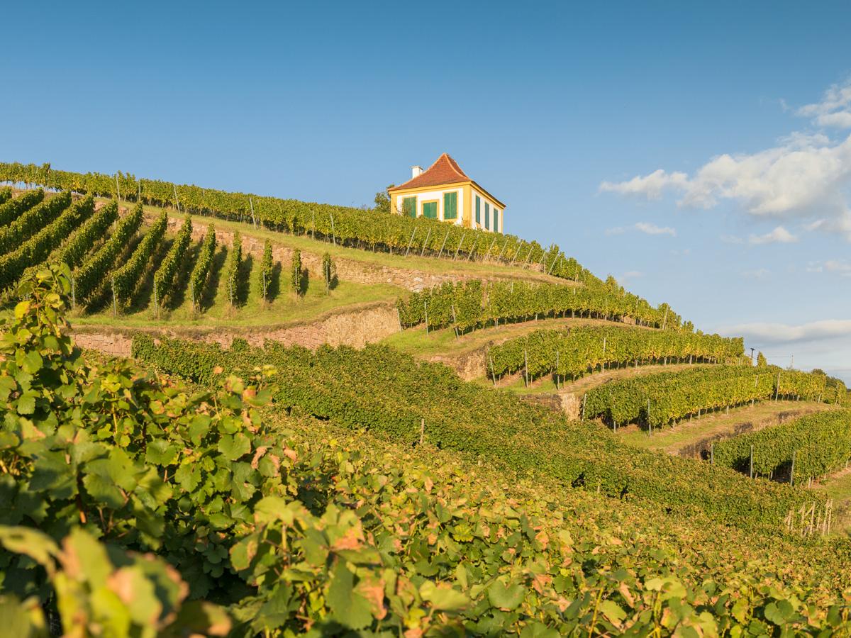Von Diesbar-Seußlitz bis nach Pillnitz erstrecken sich die Weinberge im sächsischen Elbland.